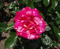 Rosa weiß gescheckte Rosenblüte von kattobello