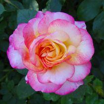 Rosa weiße Rosenblüte von kattobello