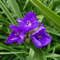 Blaue Dreimastblume von kattobello