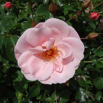 Zartrosa Rosenblüte von kattobello