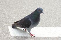 Taube auf der Strasse by kattobello