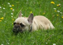 Französische Bulldogge auf der Wiese von kattobello