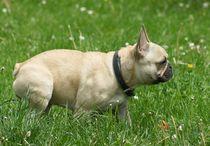 Französische Bulldogge im Grünen von kattobello