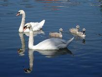 Schwanenfamilie auf der Donau von kattobello
