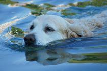 Golden Retriever schwimmt in der Donau von kattobello