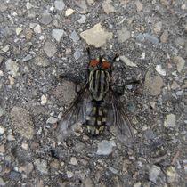 Fleischfliege auf der Strasse von kattobello