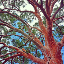 Sydney Red Gum by Karen Black