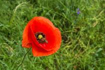 Mohnblüte mit Biene  by Christoph  Ebeling