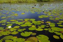 Water lilies, Okavango Delta, Botswana, Africa von Danita Delimont