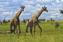 Giraffe, Nxai Pan National Park, Botswana, Africa von Danita Delimont