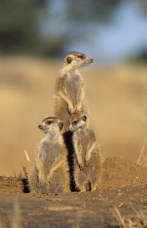 A trio of Suricates sunning themselves at their den. von Danita Delimont