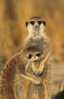 A Suricate mother and young interacting. by Danita Delimont
