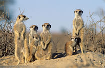 A Suricate family sunning themselves at their den. by Danita Delimont