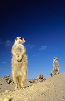 A small Suricate family interacting at their den. by Danita Delimont