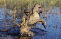 A Chacma Baboon carrying young through a river by Danita Delimont