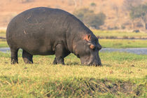 Chobe National Park. Hippo grazing near the Chobe river. by Danita Delimont