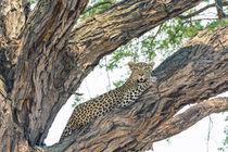 Okavango Delta. Khwai concession. Female leopard resting hig... by Danita Delimont