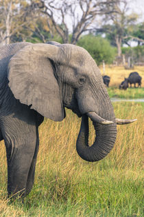 Okavango Delta. Khwai concession. Elephant grazing near the ... von Danita Delimont