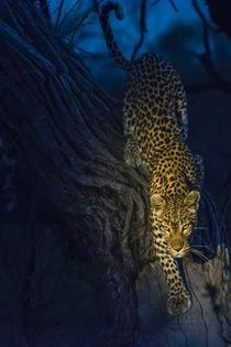 Okavango Delta. Khwai concession. Leopard climbing out of a ... von Danita Delimont