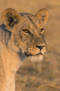 Chobe National Park. Savuti. Female lion . von Danita Delimont