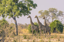 Chobe National Park. Savuti. Giraffes intently watching a hi... by Danita Delimont