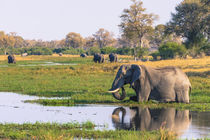 Okavango Delta. Khwai Concession. Elephant drinking. by Danita Delimont