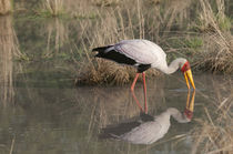Yellowi-billed Stork Fishing by Danita Delimont