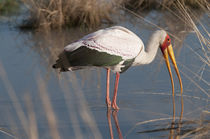 Yellow-Billed Stork fishing in river at Kwara, Botswana, Africa. von Danita Delimont
