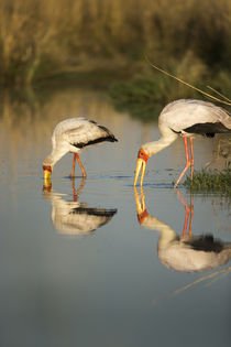 Yellow Billed Storks, Moremi Game Reserve, Botswana by Danita Delimont