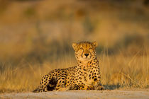 Cheetah, Moremi Game Reserve, Botswana von Danita Delimont