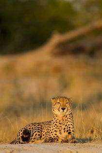 Cheetah at Dawn, Moremi Game Reserve, Botswana by Danita Delimont