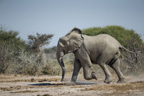 Elephant Running To Water, Nxai Pan National Park, Botswana by Danita Delimont