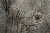 Elephant Eye at Dusk, Moremi Game Reserve,Botswana by Danita Delimont