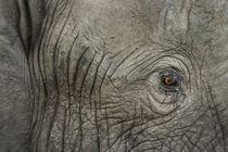 Elephant Eye at Dusk, Moremi Game Reserve,Botswana von Danita Delimont