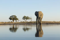 African Elephant at Water Hole, Chobe National Park, Botswana by Danita Delimont