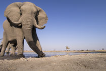 Remote Camera View of African Elephant Bull, Chobe National ... von Danita Delimont