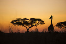 Giraffe at Sunset, Chobe National Park, Botswana by Danita Delimont