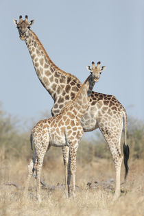 Giraffe and Calf, Chobe National Park, Botswana by Danita Delimont