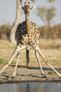 Giraffe Drinking at Water Hole, Chobe National Park, Botswana von Danita Delimont
