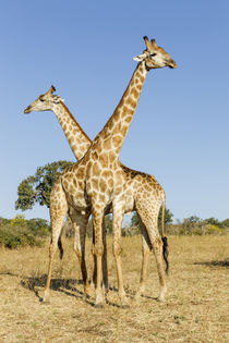 Giraffes Standing Side by Side, Chobe National Park, Botswana by Danita Delimont