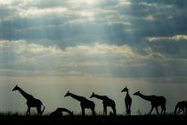 Giraffe Herd, Chobe National Park, Botswana by Danita Delimont