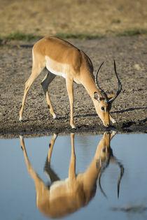 Male Impala Drinking, Chobe National Park,Botswana by Danita Delimont