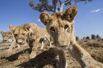 Lion Pride Approaching Camera, Chobe National Park, Botswana von Danita Delimont
