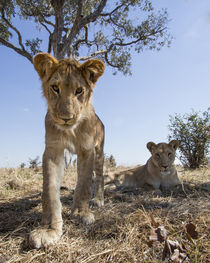 Lion Cub Approaching Camera, Chobe National Park, Botswana by Danita Delimont