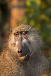 Chacma Baboon, Chobe National Park, Botswana by Danita Delimont