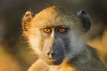 Chacma Baboon Infant, Chobe National Park, Botswana by Danita Delimont