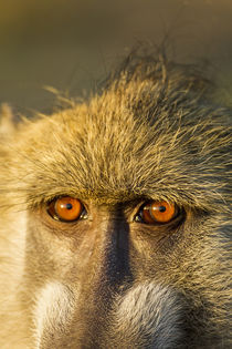 Chacma Baboon's Eyes, Chobe National Park, Botswana by Danita Delimont