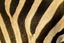 Plains Zebra Stripes, Moremi Game Reserve, Botswana by Danita Delimont