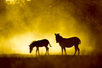 Plains Zebra at Sunset, Moremi Game Reserve, Botswana by Danita Delimont