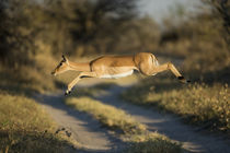 Impala Leaping in Savuti Marsh, Chobe National Park, Botswana by Danita Delimont